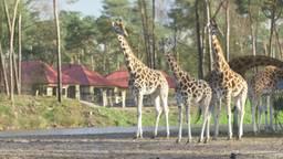 Giraffen verkennen de grote savanne van Safari Resort Beekse Bergen (Foto: Beekse Bergen)