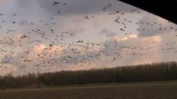 Tienduizenden ganzen bivakkeren bij de Moerdijkbrug