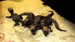 Vier van de acht baby dwergkaaimannen