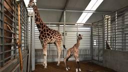 Baby-giraffe Finn en zijn moeder. (Foto: Beekse Bergen)