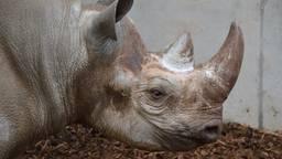 De neushoorn staat nu nog in een binnenverblijf. (Foto: Safaripark Beekse Bergen)