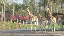 Giraffen in de Beekse Bergen.