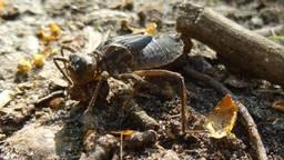 De larve of nymf van een grote libel. (Foto: Loes Westgeest)