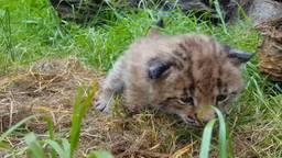 De pasgeboren Lynx. (Foto: Dierenrijk)