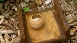 Het begin van een wespennest. (Foto: Adri Klaasse)