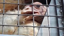 De kippen hadden zichtbaar last van hittestress. (Foto: gebiedsagent Marco/Twitter)