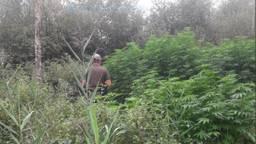 Een boswachter bij de illegale hennepplantage in De Peel.