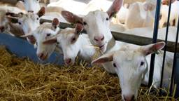 Weer meer geiten in Brabant (foto: archief).