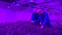 Planten groeien het best onder paars led-licht