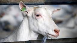 Voorlopig geen 6000 geiten in stal Baarle Nassau (Archieffoto: ANP).