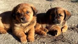 De pups zijn te herkennen aan hun bruine koppies