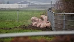 The day after: een aantal varkens die de brand overleefden. Een schrijnende en ontroerende foto, zo reageren mensen op Facebook (Foto: Toby de Kort)