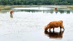 Schotse Hooglanders grazen op de Strabrechtse Heide (Heeze) in het water. (Foto: ANP)