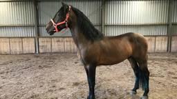 Hechicero van Désiree van Wijk is één van de paarden die is verdwenen (Foto: Désiree van Wijk).