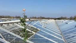 De roos van Keijsers Rozen is zo door het dak gegroeid. (Foto: Facebook)