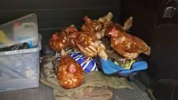 De kippen konden makkelijk worden gevangen, omdat ze tam waren. (Foto: Erik de Jonge)