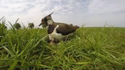 De weidevogels, waaronder de kievit, krijgen het steeds moeilijker.