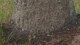 Heel veel eikenprocessierupsen aan de voet van een boom. (Foto: Jaap Noorlander)