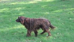 Een langharige Duitse Staander, niet de hond uit het verhaal. (Foto: Wikimedia)