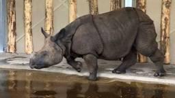 Nieuwe publiekstrekker bij Dierenrijk Nuenen: drie Indische neushoorns.
