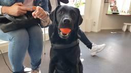 Labrador Diezel is bijna 4,5 kilo afgevallen en is weer een fitte hond (Foto: Dierenziekenhuis Eindhoven).