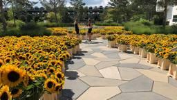 20.000 zonnebloemen, het handelsmerk van Van Gogh, voor het kantoor van ASML (foto: Rogier van Son).