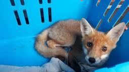 Het vosje werd uiteindelijk ingeslapen. (Foto: Dierenambulance Brabant Zuid-Oost)