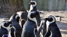 De pinguïns in Zooparc Overloon (foto: Zooparc Overloon).