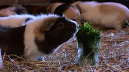 De cavia's genieten van hun Mojito-ijsjes (foto: Eva de Schipper).
