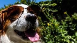 Deze hond heeft het ook warm tijdens deze tropische dagen (foto: Rob Engelaar).