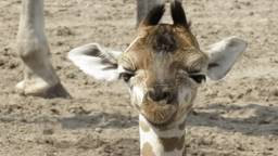 Giraffe Natasja is geboren (Foto: Safaripark Beekse Bergen).