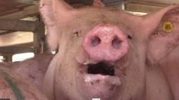 Een varken in een transportwagen. (Videobeeld Animal Rights)