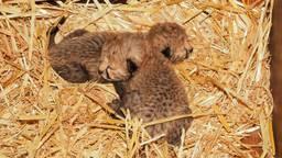 De twee pasgeboren baby's van moeder Kate  (Foto: Beeks Bergen)