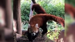 De rode panda's klimmen met z'n drieën lekker rond(Beeld: Beekse Bergen).