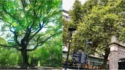 De Heksenboom links (Foto: Mark Kohn) en rechts de Rotterdamse Lijnbaanplataan (foto: Jacco van Giessen/Rijnmond)