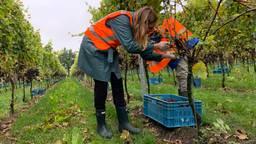Druiven plukken in de wijngaard van Sint-Catharinadal. (foto: Eva de Schipper)