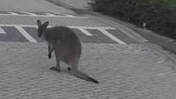 De gespotte wallaby. (Foto: Dierenambulance Brabant Noord-Oost / Facebook)