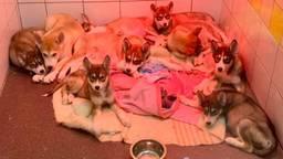 Een dag later zien de pups er een heel stuk beter uit. (Foto: Dierenambulance Land van Cuijk)