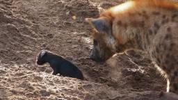 De kleine pup met moeder hyena (foto: Beekse Bergen).