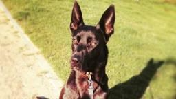 Politiehond Kimbo werd ook toegetakeld. (foto: politie)