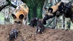 Vier pups geboren in Safaipark Beekse Bergen. (Foto: Safaripark Beekse Bergen)