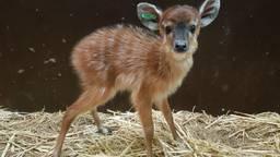 De kleine moerasantilope maakt het goed. (Foto: Beekse Bergen)