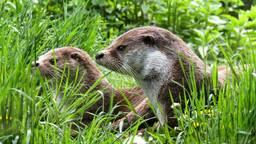 Twee waakzame otters (Foto: Gerhard Gellinger)