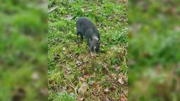 Het jonge varkentje dat vrijdag na veel moeite gevangen werd. (FOTO: Dierenambulance Noord Oost)