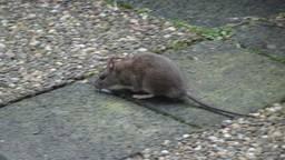Een bruine rat in de tuin van Henk Smeets. (Foto: Henk Smeets)