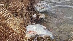 Dode ganzen in het water in Megen (foto: Dierenambulance Maasland).