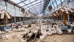 Ophokplicht voor kippen (Foto: ANP).