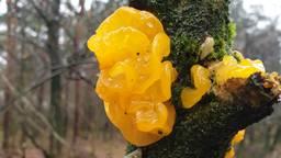 Een gele trilzwam (foto: Miriam Hammann)