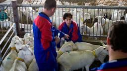 Minister Verburg in 2009 bij de vaccinatie van een geit in Etten-Leur (Foto: ANP).
