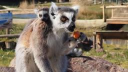 Een van de jonge ringstaartmaki's met de moeder (foto: ZooParc Overloon)